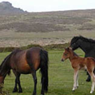 woodovis-park-camping-touring-devon-out-&-about-dartmoor-pony-heritage-trust